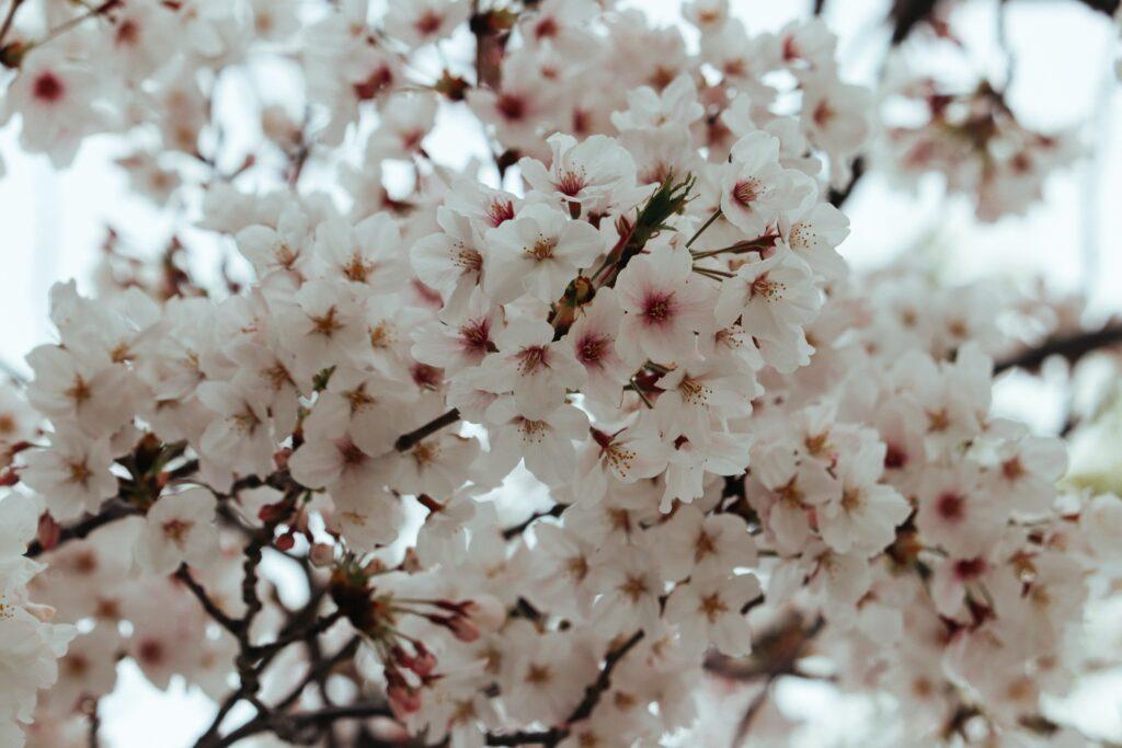 cherry blossom japan 2020