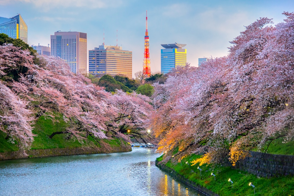 cherry blossoms in tokyo in 2020
