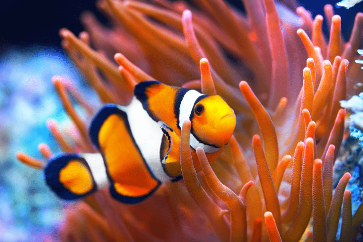 A clown fish swims through colorful  orange coral.