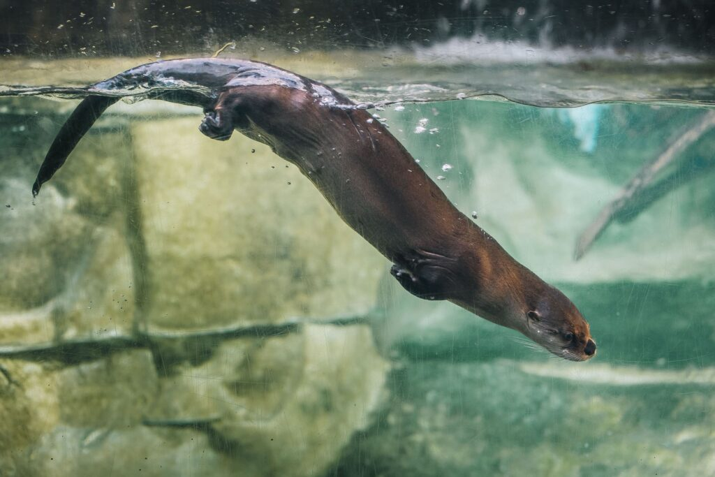 An otter dives into the water at South Carolina Aquarium.