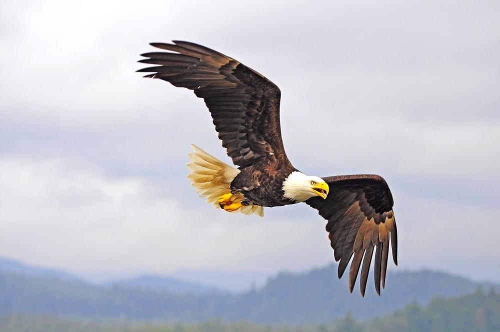 Image of a majestic bald eagle.