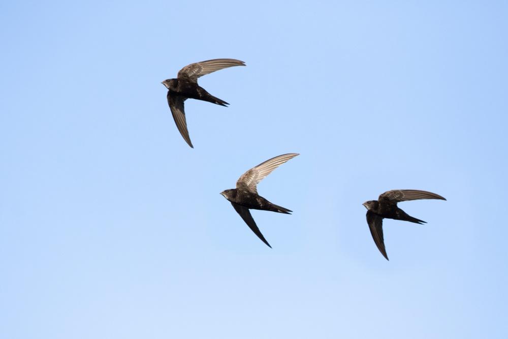 Three common swifts flying.