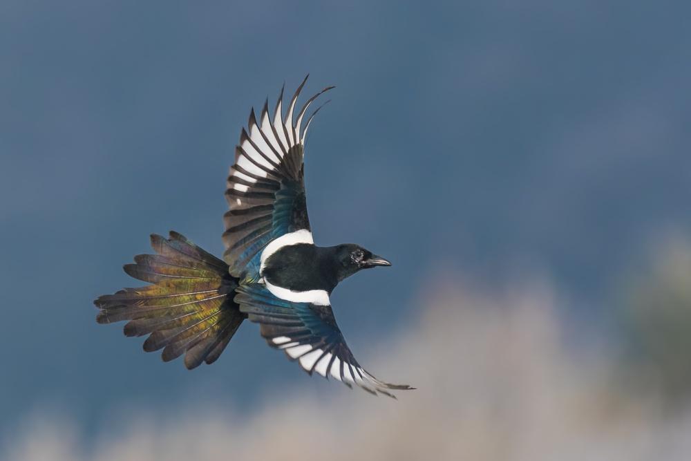 A Eurasian magpie.