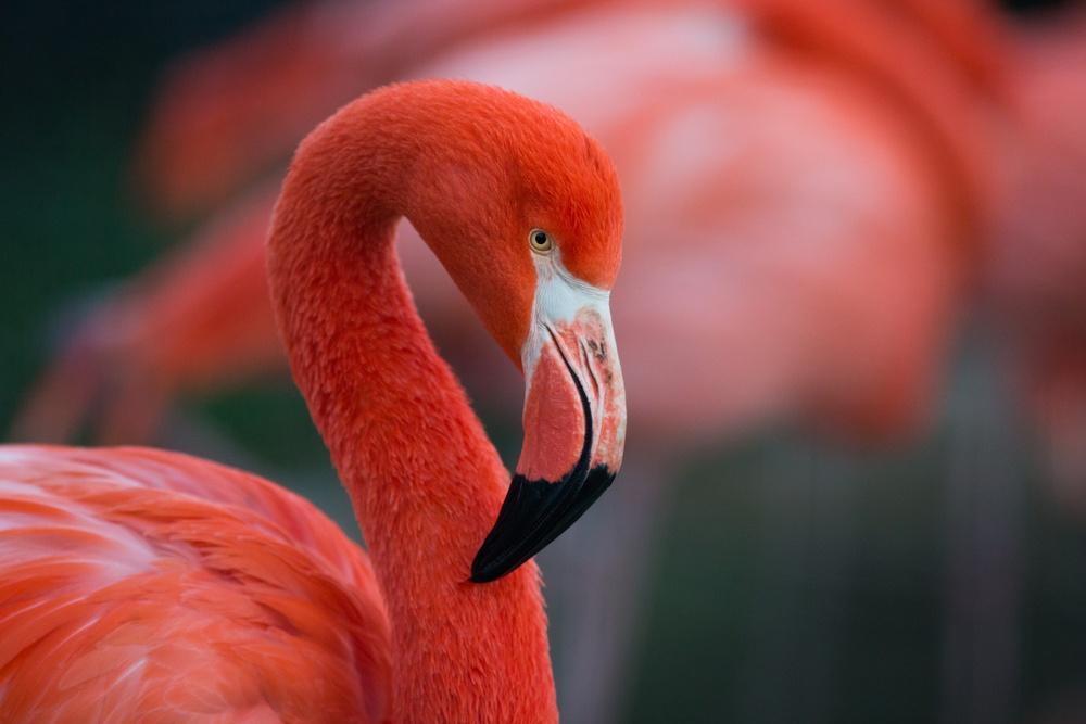 A flamingo.