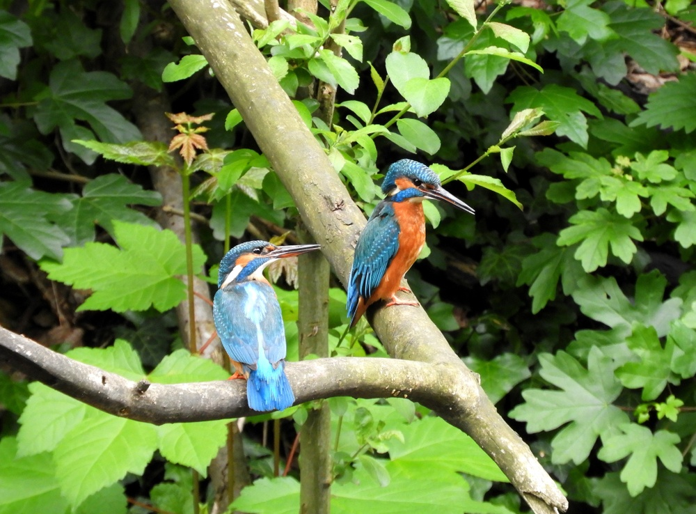 Two kingfisher birds in Amsterdam, picture taken at Frankendael Park.