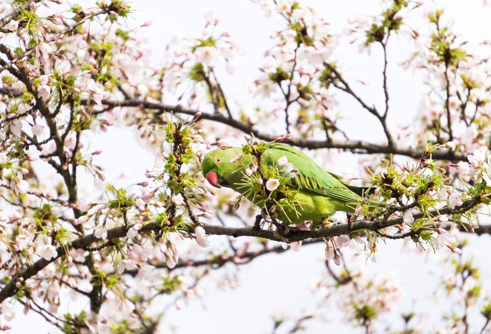 A parakeet in Amsterdam.