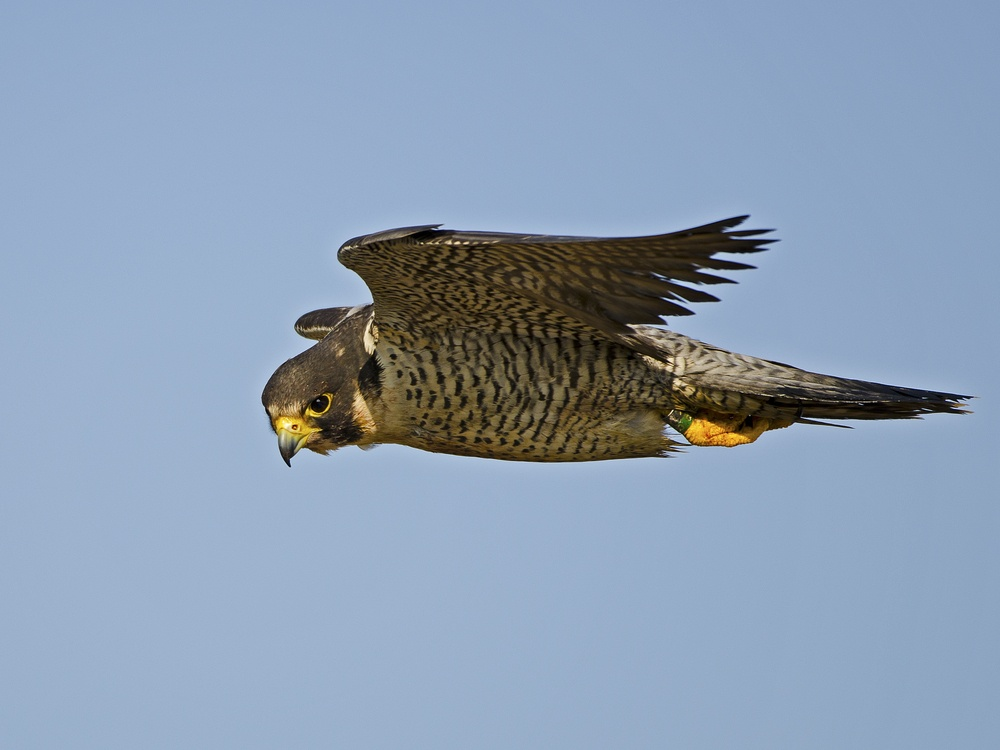 A peregrine falcon in mid-flight.