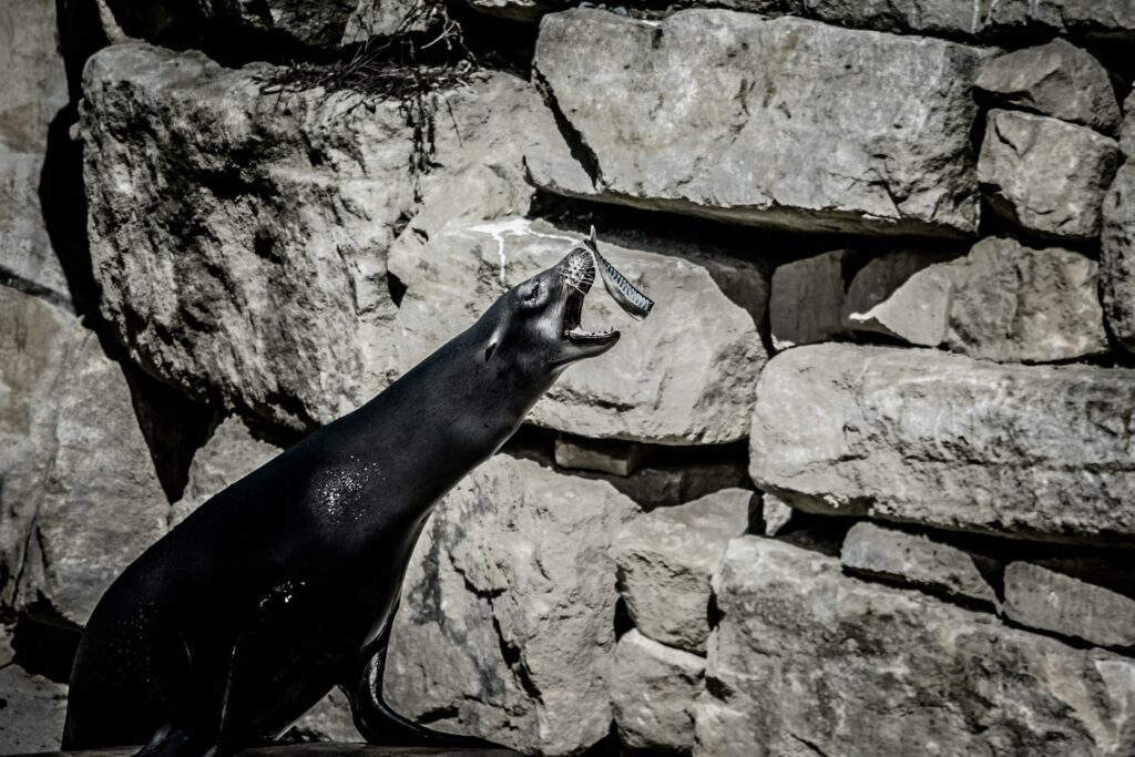 A seal catching a fish at Dublin Zoo